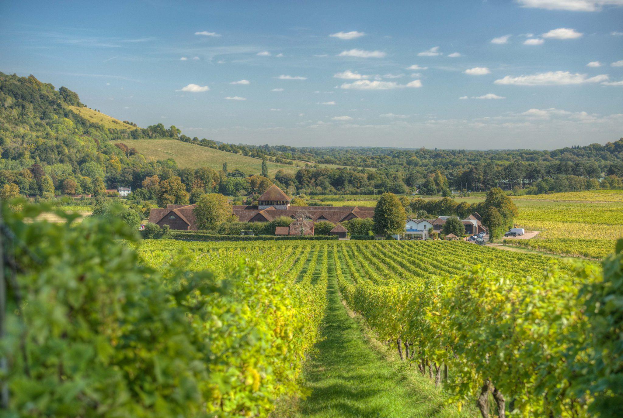 Lush green English vineyard
