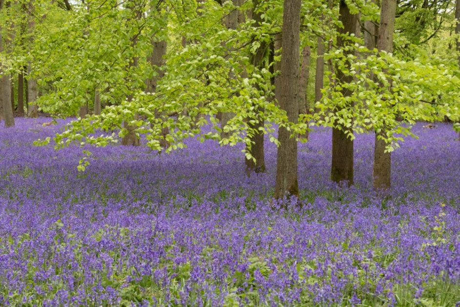Bluebells in Dockey Wood, Ashridge Estate, Hertfordshire