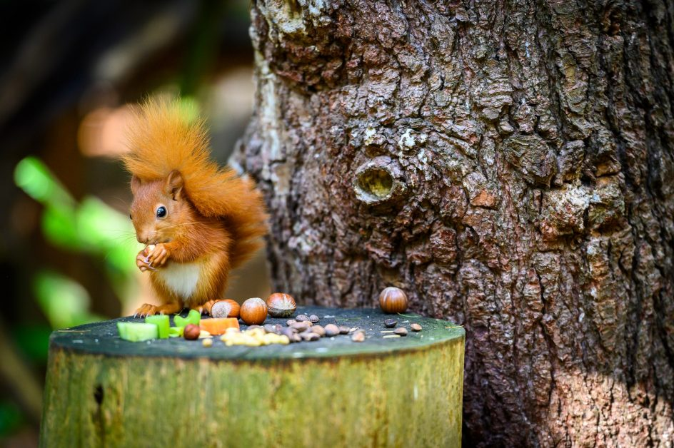 best places to see wildlife in the UK squirrels