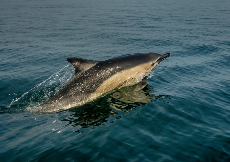 best places to see wildlife in the UK - dolphins